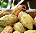 Cocoa sells 'drastically' low on the world market in April, farmers suffer the brunt