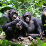 Western chimpanzees under threat in Ghana, 7 other West African countries